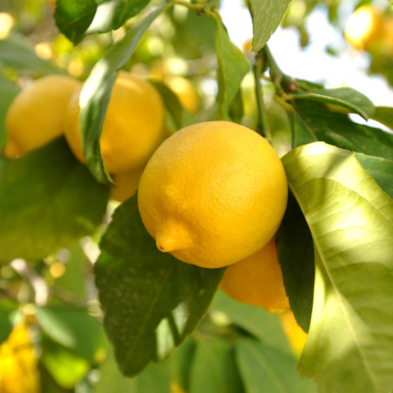 Simple Tips To Grow Unlimited Supply Of Lemons In Your Own Garden